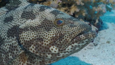 close up under water shot of Malabar grouper resting on sea floor