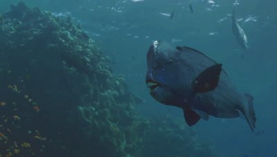 low angle underwater shot of single Green Humphead Parrotfish