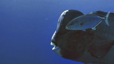 humphead parrot fish and lemon trevally swimming head to head