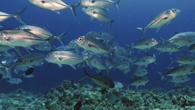 schooling big eye trevally swimming towards camera