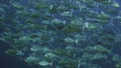 wide shot of massive shool of unicorn fish in the Red Sea