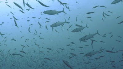 group of tuna hunting in big school of sardines