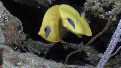 pair of golden butter fly fish in coral reef