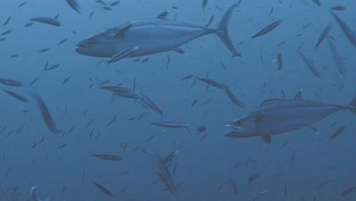 dogtooth tuna hunting and feeding on sardines, Red Sea