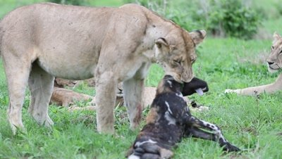 Lioness with a wild dog in her jaw, cubs playing with the dead body