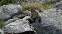 Young Marmots On The Rocks. Gran Paradiso National Park
