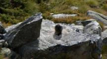 Young Marmot On The Rock. Gran Paradiso National Park