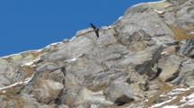 Bearded Vulture Flying Across Rugged Mountain Face.