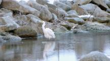 Great Egret Catches A Trout In A Stream.