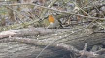 European Robin  On Dead Trunk