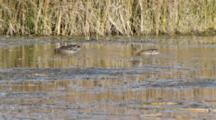 Northern Shoveler In The Pond