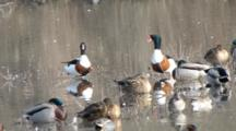 Common Shelduck With Teals And Mallards