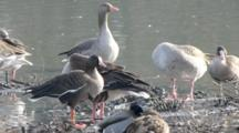 Greylag Geese And Lesser White-Fronted Geese