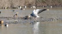 Pair Of Greylag Geese