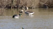 Greylag Goose And Mallards