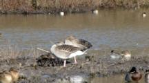 Pair Of Greylag Geese  Sleeping