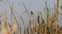 Pair Of Reed Buntings On Cattails