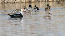 Ducks In The Wetland