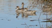 Group Of  Marbled Teals