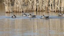 Group Of  Marbled Teals In The Cane Thicket
