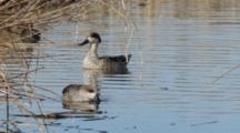 Pair Of  Marbled Teals In The Cane Thicket