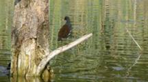 Common Moorhen On The Branch