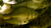 European Perch And Common Rudds