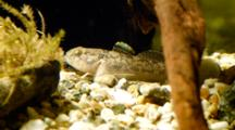 Goby Resting On The Bottom Of The River