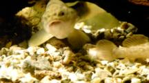 Goby Eats A Caddisfly Larva, Disturbed By A Brown Trout