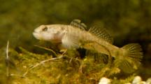 Goby On The Acquatic Plants