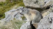 Alpine Marmot Rests On Rocky Mountain Slope