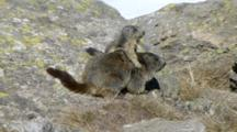Young Marmot Play With Mother