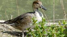 Northern Pintail Duck Female On Edge Of Pond