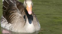 Greylag Goose In The Pond