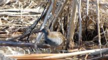 Water Rail  In The Cane Thicket