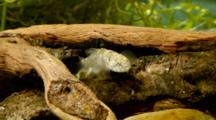 Padian Goby On A Trunk
