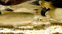 European Nase And Other  Cyprinids