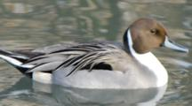 Northern Pintail Male Swimming