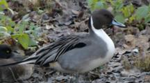 Northern Pintail Male Resting