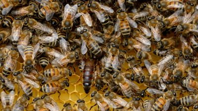 Bees with Queen