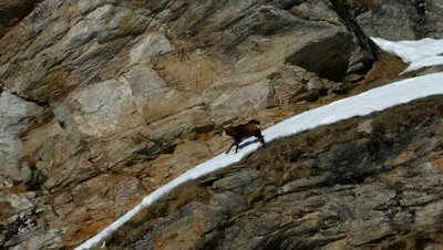 A Chamois is walking on the snow