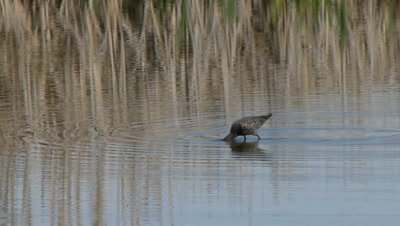 The spotted redshank