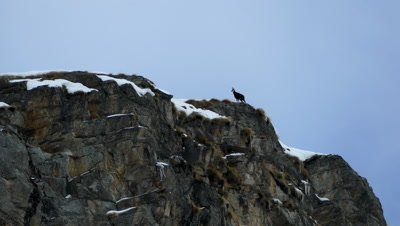 Chamois on the cliff