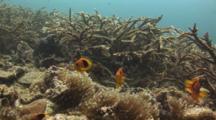 Saddle Anemonefish (Red Saddleback Anemonefish), Amphiprion Ephippium, Above Bubble-Tip Anemone, Entacmaea Quadricolor