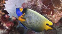 Blueface Angelfish, Pomacanthus Xanthometopon, Amongst Hard Corals