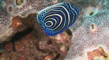 Juvenile Emperor Angelfish, Pomacanthus Imperator, Swims Around Coral Reef