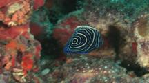 Juvenile Emperor Angelfish, Pomacanthus Imperator, Hides In Coral Reef
