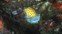Juvenile Yellow Boxfish, Ostracion Cubicus