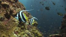 Pair Of Longfin Bannerfish (Pennant Coralfish), Heniochus Acuminatus, Over Coral Reef