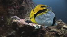 A Pair Of Lined Butterflyfish, Chaetodon Lineolatus, Swim Over Coral Reef